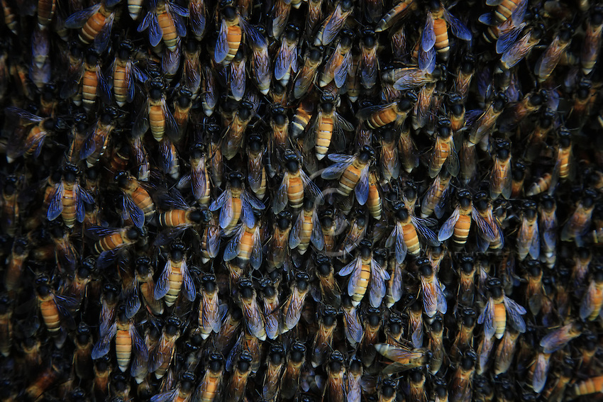 Hundreds of Apis Dorsata, Asian giant bees, are gathered on the honeycomb to fill themselves with honey in order to survive the harvest. The biology of this bee variety is uncommon. They nest in a single comb on cliff overhangs, and their seasonal migration can reach a distance of 150 km.