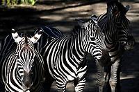 CALI - COLOMBIA - 27 - 09 - 2017: Cebra (Equus Guagga), especie de Cebra, en el Zoologico de Cali, en el Departamento del Valle del Cauca.  / Zebra (Equus Quagga), a species of Zebra, in the Zoo of Cali, in the Department of Valle del Cauca. / Photo: VizzorImage / Luis Ramirez / Staff.