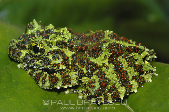 Vietnamese Mossy Tree Frog (Theloderma corticale) Camouflage keeps many animals safe from predators, but some say the camouflage of Vietnamese mossy frogs is the most elaborate in the animal kingdom. Its uneven texture of bumps, along with the red, green and black montage of colors, appears to transform this frog into a clump of moss or lichen--blending flawlessly with its habitat. These frogs have sticky discs at the end of each toe, making them skillful tree climbers. Large eyes give them a broad range of vision.