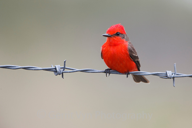 Adult male Vermillion Flycatcher (Pyrocephalus rubinus). Yucutan, Mexico. February.