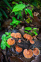 Bracket fungus growing on tree stump in tropical rainforest. Danum Valley, Sabah, Borneo.