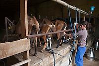 Europe/Europe/France/Midi-Pyrénées/46/Lot/ Théminettes: Traite des chêvres à la à la Ferme: Chez Agnés et David - Fromages de chêvre AOC Rocamadour -Agriculture biologique