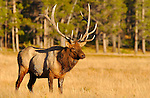 Bull Elk in Meadow at Sunset, Norris Junction, Yellowstone National Park, Wyoming