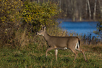 A slightly wet white-tailed buck cautiously walking in a meadow in northern Wisconsin.