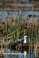 00606-00306  Western Grebe (Aechmophorus occidentalis) on nest Waubay NWR Mgmt Area  Waubay  SD