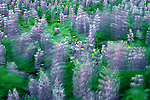 Nootka lupine waving in breeze, Alaska