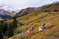 Bighorn Sheep Rams (Ovis canadensis) resting in subalpine meadow.  Northern Rockies.  Fall.