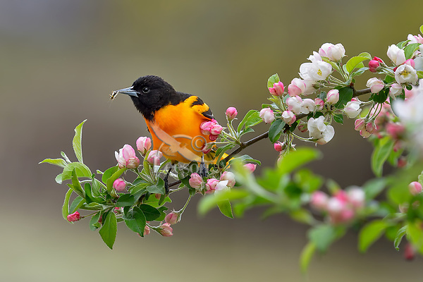 Male Baltimore Oriole (Icterus galbula) catching insect in wild crab apple tree.  Great Lakes Region.  May.