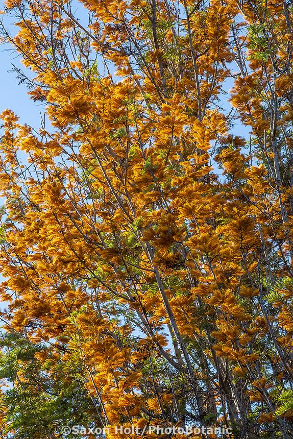 Grevillea robusta – Silky Oak flowering tree at Leaning Pine Arboretum, California garden