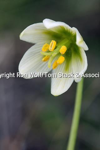 Fragrant Fritillary (Fritillaria liliacea). Edgewood County Park. Redwood City, San Mateo Co., Calif.