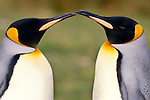 Second largest of the penguins, after Emperors, King penguins have an orange yellow patch on their chests and greyish black backs. They also have orange, tear-shaped ear patches.