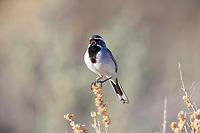 Black-throated Sparrow (Amphispiza bilineata deserticola) singing at the Desert National Wildlife Refuge in Las Vegas, Nevada.