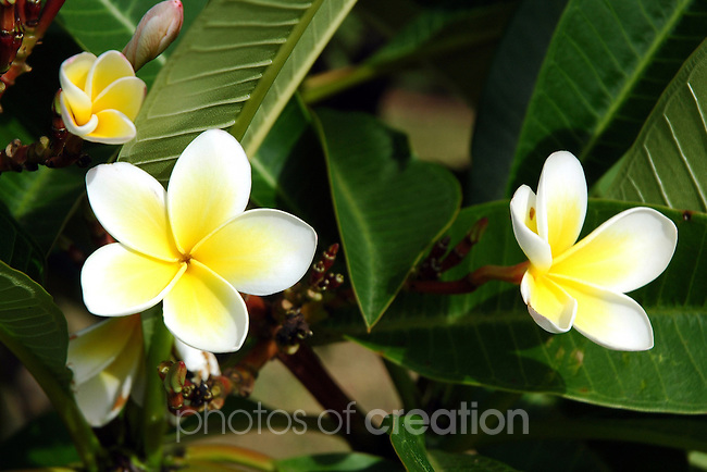 Yellow Hybiscus
