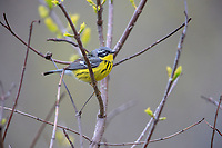 Magnolia Warbler (Setophaga magnolia), female in breeding plumage, a spring migrant to Magee Marsh in Oak Harbor, Ohio foraging.