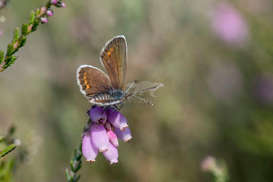 Heideblauwtje (Plebejus argus), vrouwtje