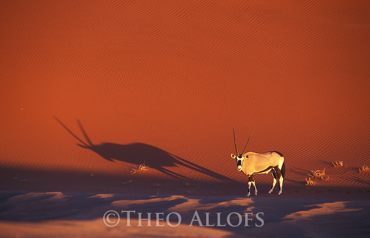 Oryx-Antelope in front of red sand dune at Sossusvlei, Namib-Naukluft National Park, Namib Desert, Namibia