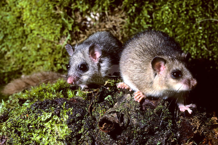 Relmuis of Zevenslaper (Glis glis)
