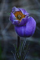 &quot;PASQUE FLOWER&quot;<br />