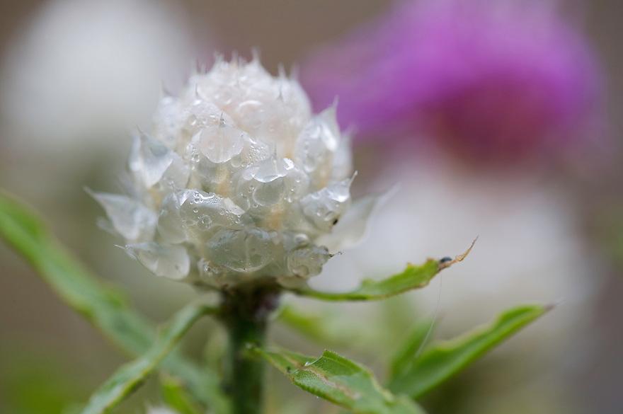 Cicada Star Thisle (Centaurea deusta), Monte Titano, San Marino.