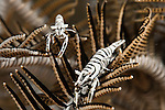 Commensal Crinoid Shrimps (Periclimenes amboinensis).