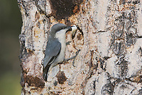 Pygmy Nuthatch,Sitta pygmaea, adult with fecal sac at nesting cavity in pine tree, Rocky Mountain National Park, Colorado, USA, June 2007