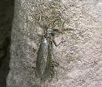 Stonefly - Dinocras cephalotes