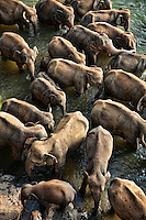 Asian elephants in Sri Lanka wander freely around some parts of the country with few constraints.  These elephants are quite used to humans but are nevertheless still wild and potentially dangerous. (Photo by Matt Considine - Images of Asia Collection)