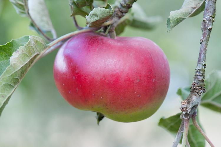Apple 'Kentish Quarrenden', late September. A red-skinned English dessert apple dating back to the 1920s.