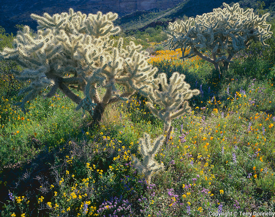 Organ Pipe Cactus National Monument, AZ<br /> Sonoran desert with morning sun on Teddybear Cholla (Opuntia bigelovii), spring poppies, lupine and bladderpod.