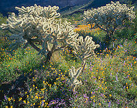 Organ Pipe Cactus National Monument, AZ<br /> Sonoran desert with morning sun on Teddybear Cholla (Opuntia bigelovii), spring poppies, lupine and bladderpod.