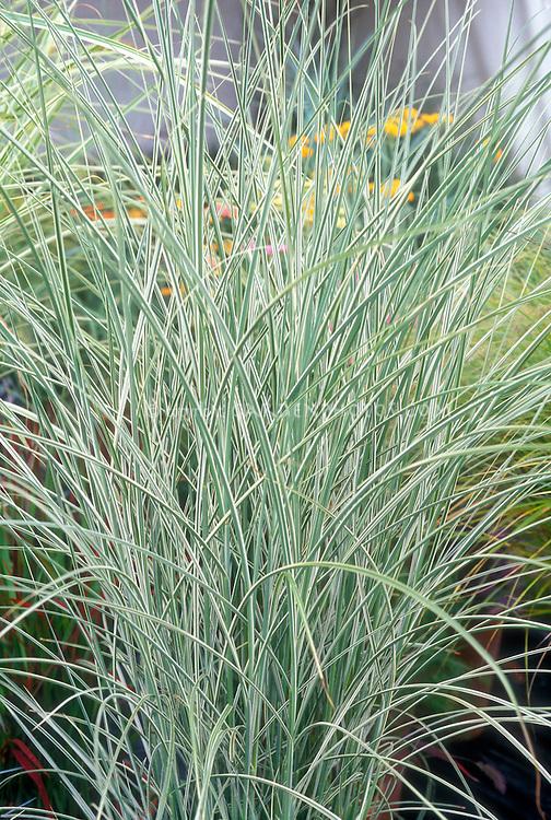 Miscanthus sinensis 'Morning Light' ornamental grass Maiden grass