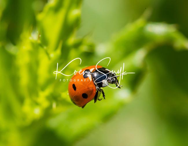 HALFWEG - insecten op de golfbaan , zevenstippelig lieveheersbeestje , Amsterdamse Golf Club. (AGC)  . Insecteninventarisatie  COPYRIGHT KOEN SUYK