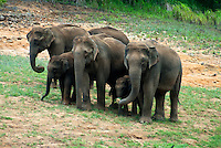 The Indian elephant (Elephas maximus indicus) is one of three recognized subspecies of the Asian elephant, and native to mainland Asia. Since 1986, Elephas maximus has been listed as endangered by IUCN as the population has declined by at least 50% over the last three generations, estimated to be 60–75 years. The species is pre-eminently threatened by habitat loss, degradation and fragmentation.