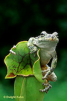 CA01-009z  Gray Tree Frog - on carnivorous pitcher plant - Hyla versicolor