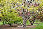 Japanese maples at the Arnold Arboretum in the Jamaica Plain neighborhood, Boston, Massachusetts, USA
