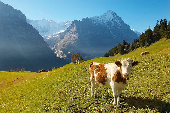Alpine Cow with Eiger - Bernese Alps Switzerland
