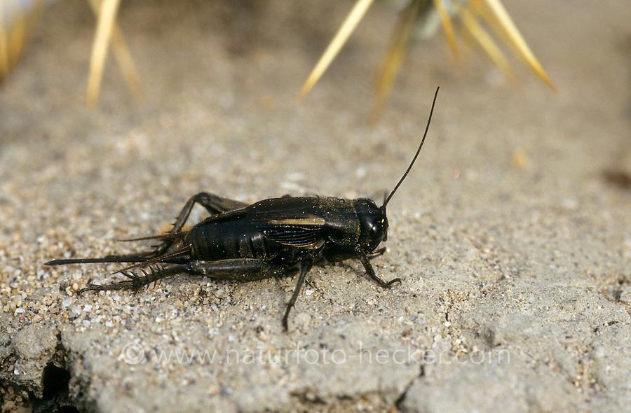 Steppengrille, Weibchen, Steppen-Grille, Grille, Melanogryllus desertus, Acheta desertus, Desert cricket, female, Grillen, Gryllidae, Crickets