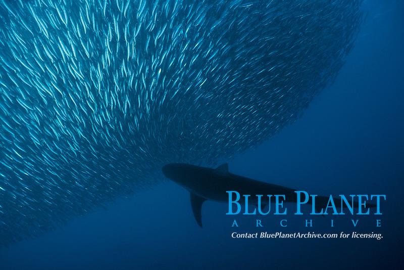 copper shark or bronze whaler, Carcharhinus brachyurus, feeding on a baitball of sardines, Sardinops sagax, South Africa