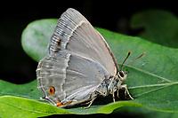 Blauer Eichen-Zipfelfalter, Blauer Eichenzipfelfalter, Favonius quercus, Neozephyrus quercus, Quercusia quercus, purple hairstreak, La Thècle du chêne, Bläulinge, Lycaenidae