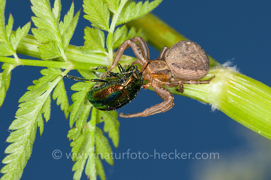Krabbenspinne mit erbeutetem Blattkäfer, Beute, Räuber, Xysticus cf. erraticus, Erratic Crab-spider, crab spider, Krabbenspinnen, Thomisidae, crab spiders