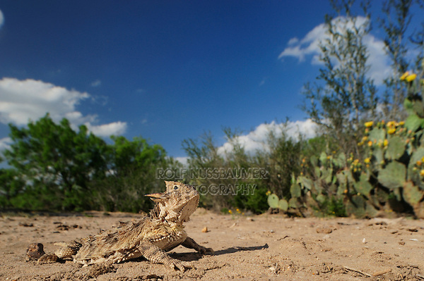 Texas Horned Lizard (Phrynosoma cornutum), adult in desert, Laredo, Webb County, South Texas, USA