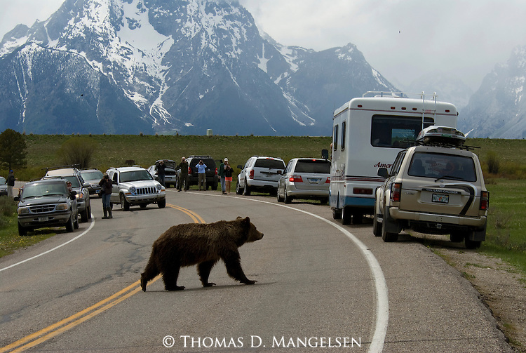 Grizzly No. 399 crossing road with tourists stopped to watch in front of Mount Moran in Grand Teton National Park.
