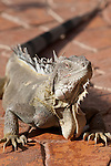 Bonaire, Netherlands Antilles; a large adult Green Iguana (Iguana iguana) warms itself in the sun on the patio of Rum Runners restaurant at Captain Don's Habitat , Copyright © Matthew Meier, matthewmeierphoto.com All Rights Reserved