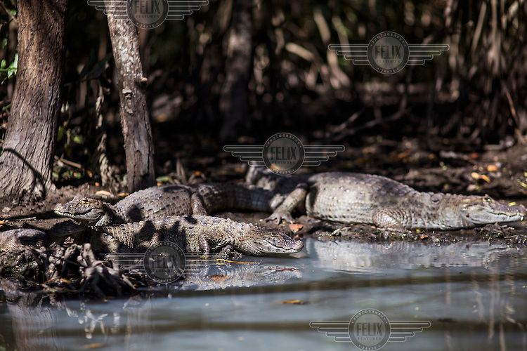 5,000 to 6,000 caimans live in the sewage infested lagoon systems of Barra da Tijuca, the district of the 2016 Olympics. <br /> Two decades of development has destroyed much of the area's natural habitat area and newly built luxury condominiums release raw sewage into the once-pristine lagoons and their connecting canals.