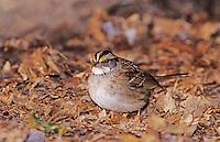 White-throated Sparrow, Zonotrichia albicollis, adult on ground with leaves, Burlington, North Carolina, USA