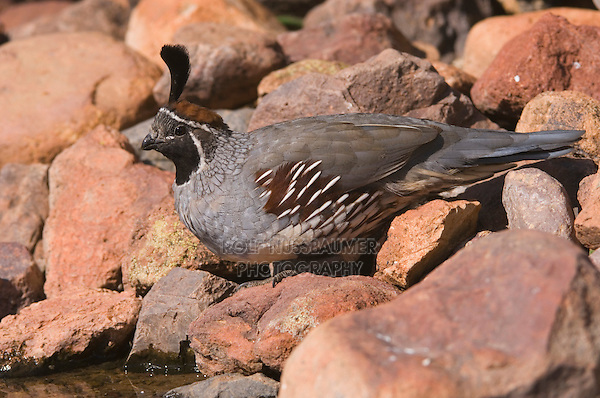 Gambel's Quail, Callipepla gambelii, male,Tucson, Arizona, USA, September 2006