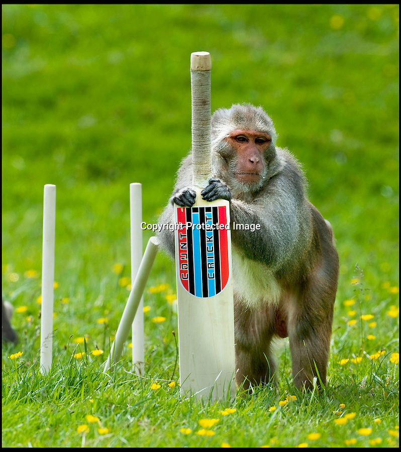 BNPS.co.uk (01202 558833)<br /> Pic: IanTurner/BNPS<br /> <br /> Thats out...<br /> <br /> Lets hope the umpiring of this summers Ashes is a little better than was displayed by the infamous Longleat monkeys yesterday as they prepared for the upcoming battle with a little bit of Ape Ashes.<br /> <br /> Despite managing to set up the stumps the perplexed primates were soon clean bowled - but at least it gave visitors to the Wiltshire attraction some respite from the usual mayhem the parks Rhesus Macaques dish out to their cars.
