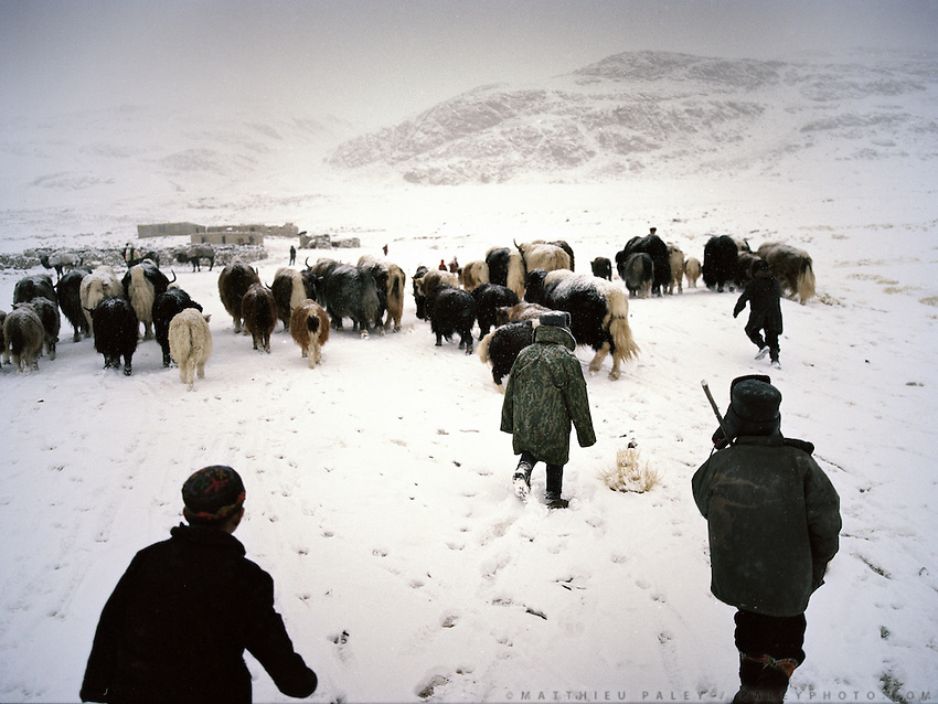 Every evening, Kyrgyz men and women gather their yak herds back to their camp..Qyzyl Qorum campment, Abdul Rashid Khan's camp (leader of the Afghan Kyrgyz). .Winter expedition through the Wakhan Corridor and into the Afghan Pamir mountains, to document the life of the Afghan Kyrgyz tribe. January/February 2008. Afghanistan