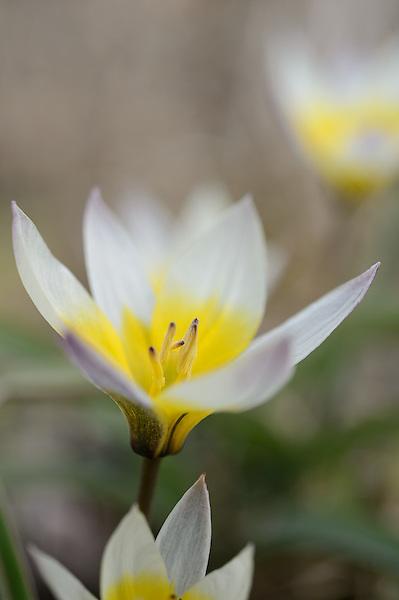 Tulipa bifloriformis 'Starlight'
