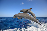 qk1639-D. Bottlenose Dolphins (Tursiops truncatus). Honduras, Caribbean Sea..Photo Copyright © Brandon Cole. All rights reserved worldwide.  www.brandoncole.com..This photo is NOT free. It is NOT in the public domain. This photo is a Copyrighted Work, registered with the US Copyright Office. .Rights to reproduction of photograph granted only upon payment in full of agreed upon licensing fee. Any use of this photo prior to such payment is an infringement of copyright and punishable by fines up to  $150,000 USD...Brandon Cole.MARINE PHOTOGRAPHY.http://www.brandoncole.com.email: brandoncole@msn.com.4917 N. Boeing Rd..Spokane Valley, WA  99206  USA.tel: 509-535-3489